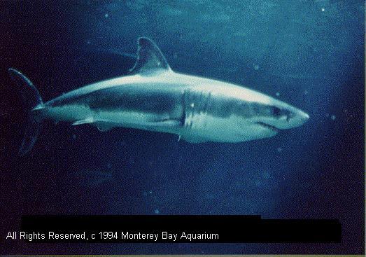 the shark ej pratt